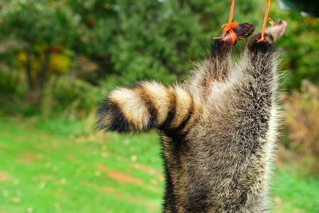 """""""dead-raccoon"""""""