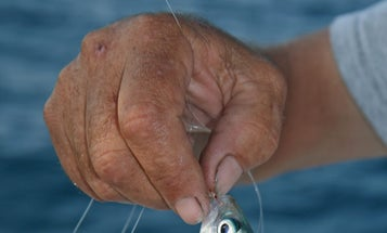 How to Snare Kingfish Baits with Sabikis