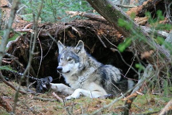 httpswww.outdoorlife.comsitesoutdoorlife.comfilesimport2014importImage2011photo100132157935_Wolf07_NS.jpg