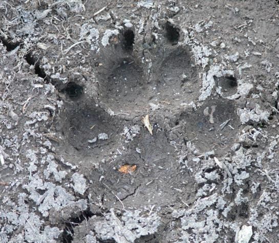 Learn the language of animal tracks in the dirt.