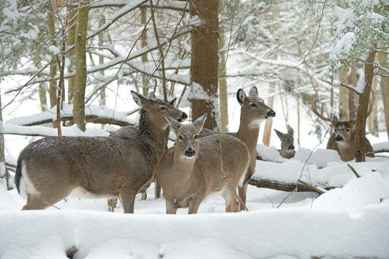 Whitetail Deer: How To Tell If The Rut Is Over