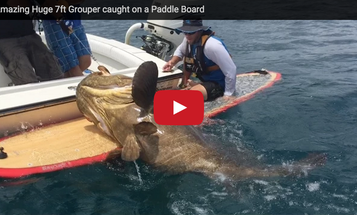 Video: Paddleboarder Catches 7-Foot Goliath Grouper