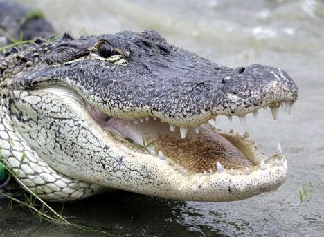 httpswww.outdoorlife.comsitesoutdoorlife.comfilesimport2014importImage2010photo300108_alligator.jpg