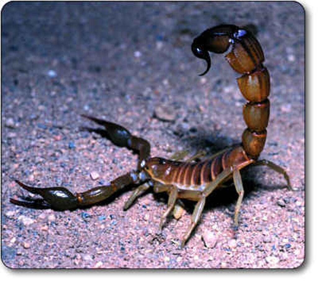 httpswww.outdoorlife.comsitesoutdoorlife.comfilesimport2014importImage2012photo1001335546death-stalker-scorpion.jpg