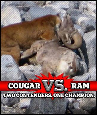 Cougar Vs Ram