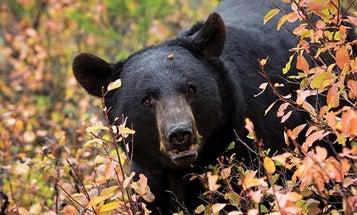How to Call Fall Bears Into Close Range