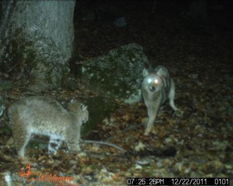 httpswww.outdoorlife.comsitesoutdoorlife.comfilesimport2013images201302bestcoyotes_16_0.jpg