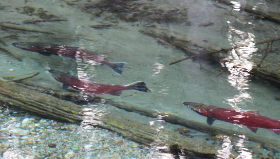 Live Hunt Alaska: Fishing for Silver Salmon in the Interior