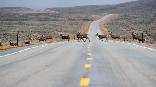 Video: Longest Mule Deer Migration Ever Recorded