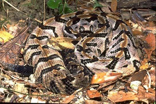 httpswww.outdoorlife.comsitesoutdoorlife.comfilesimport2014importImage2010photo3001024.canebrake_timber_rattler.jpg
