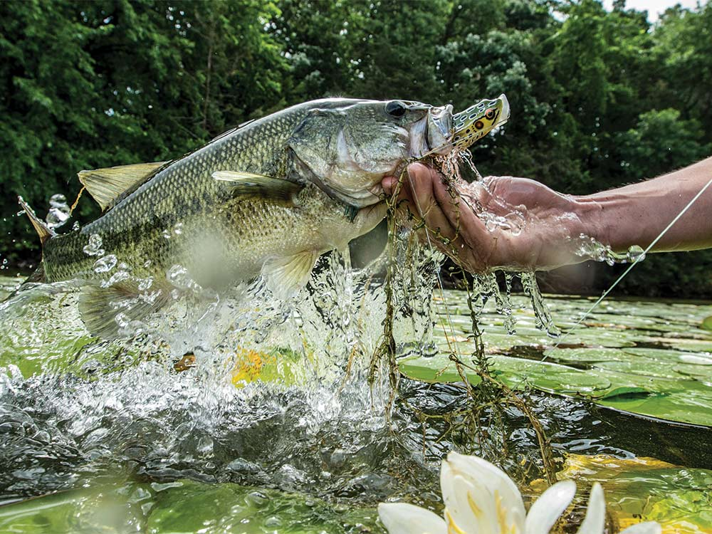 largemouth bass caught on popping frog