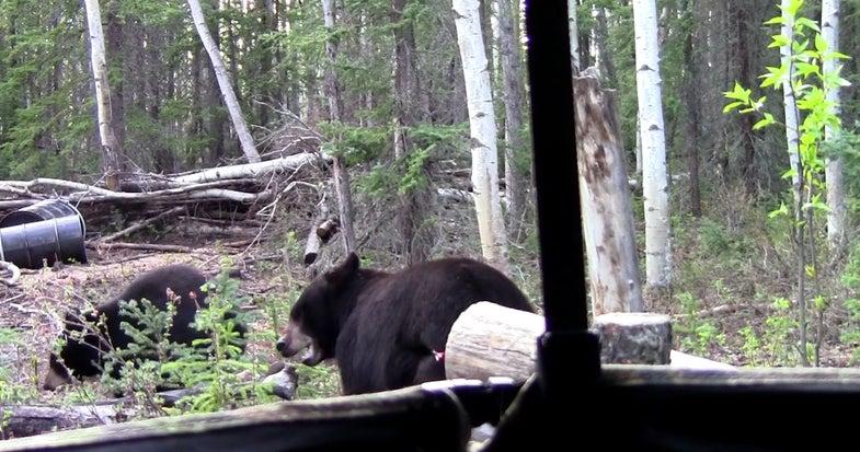 bear-angle