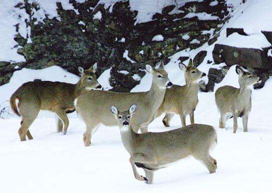 Minnesota DNR to Deploy Emergency Feeding Plan for Wild Deer