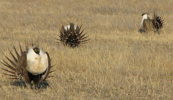 Op-ed: Is Hunting Sage Grouse Part of the Problem or Part of the Solution?