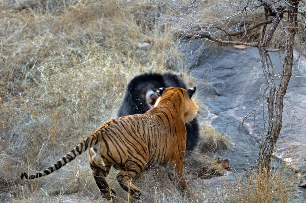httpswww.outdoorlife.comsitesoutdoorlife.comfilesimport2014importImage2011photo100132157910_9_CATERS_Bear_tiger_10.jpg