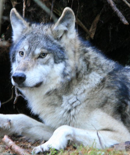 httpswww.outdoorlife.comsitesoutdoorlife.comfilesimport2013images20110353_Wolf01_HS_1.jpg