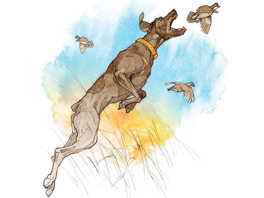 scratch, hunting dogs