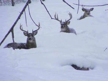 Whitetails Hunkering Down for Winter