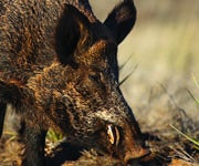 Is Eradication The Best Feral Hog Management Option?