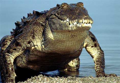 httpswww.outdoorlife.comsitesoutdoorlife.comfilesimport2014importImage2010photo3001030american-crocodile-emerging-water.jpg