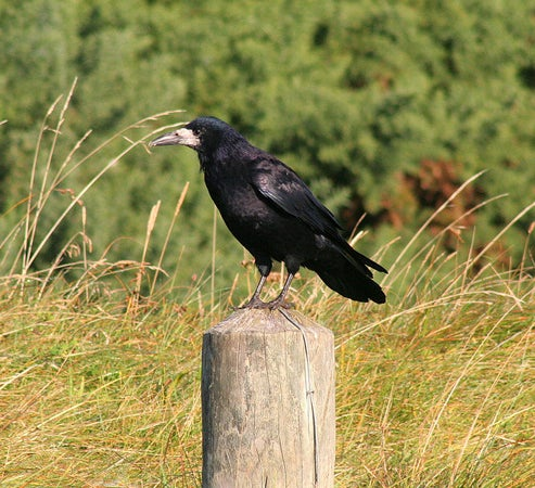a rook on a fence post