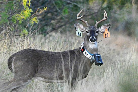 Collar Cameras Provide a New Way to Monitor Deer Behavior