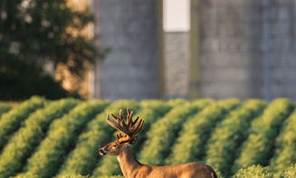 Whitetail Hunting Tips: How to Hunt a Barnyard Buck