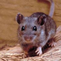 Hantavirus: What it is and How to Prevent it