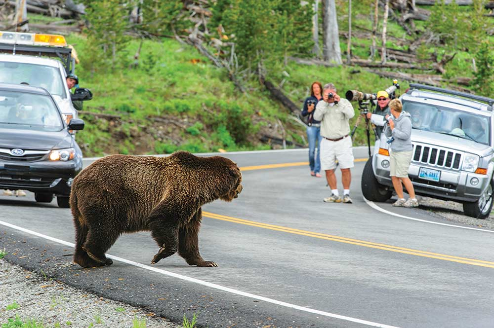 bear crossing a road as tourists look on