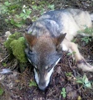 Wolf Attack on Teenager in Minnesota is Under Investigation