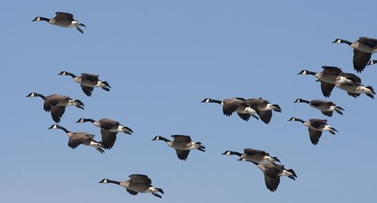 How to Scout for Geese: 3 Tips to Find Birds Before the Season Opener