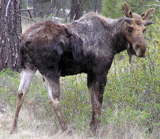New Hampshire Moose In Trouble