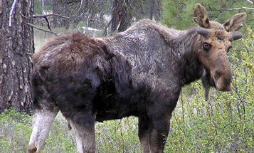 Study: Tick Bites and Climate Change are Shrinking Your Moose Herd