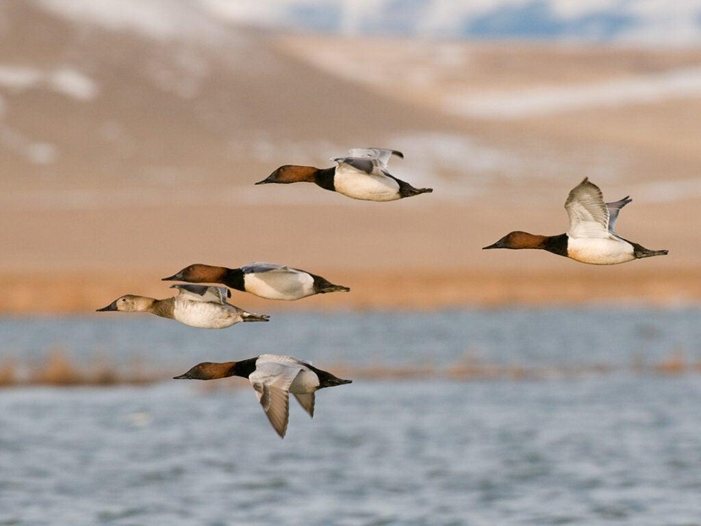 canvasback duck, duck species, types of ducks