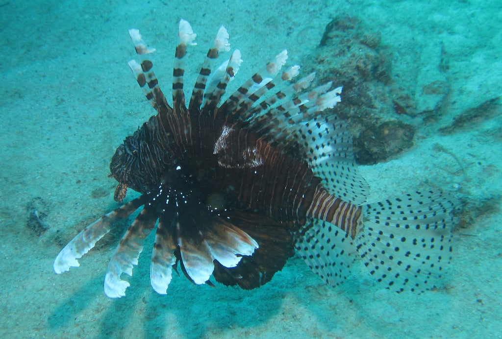 FWC Releases New App to Reduce Number of Invasive Lionfish