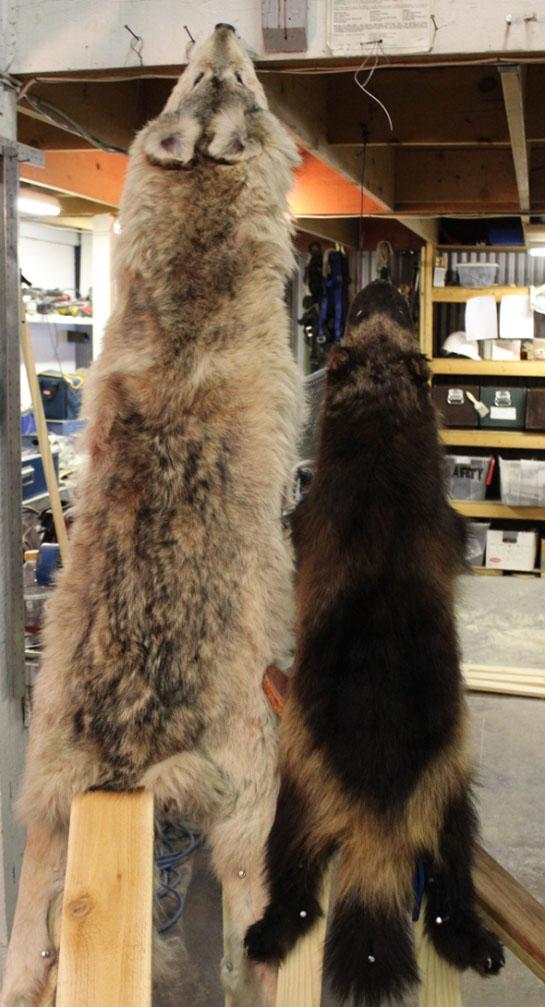 Predator Hunting and Trapping: How to Stretch Hides