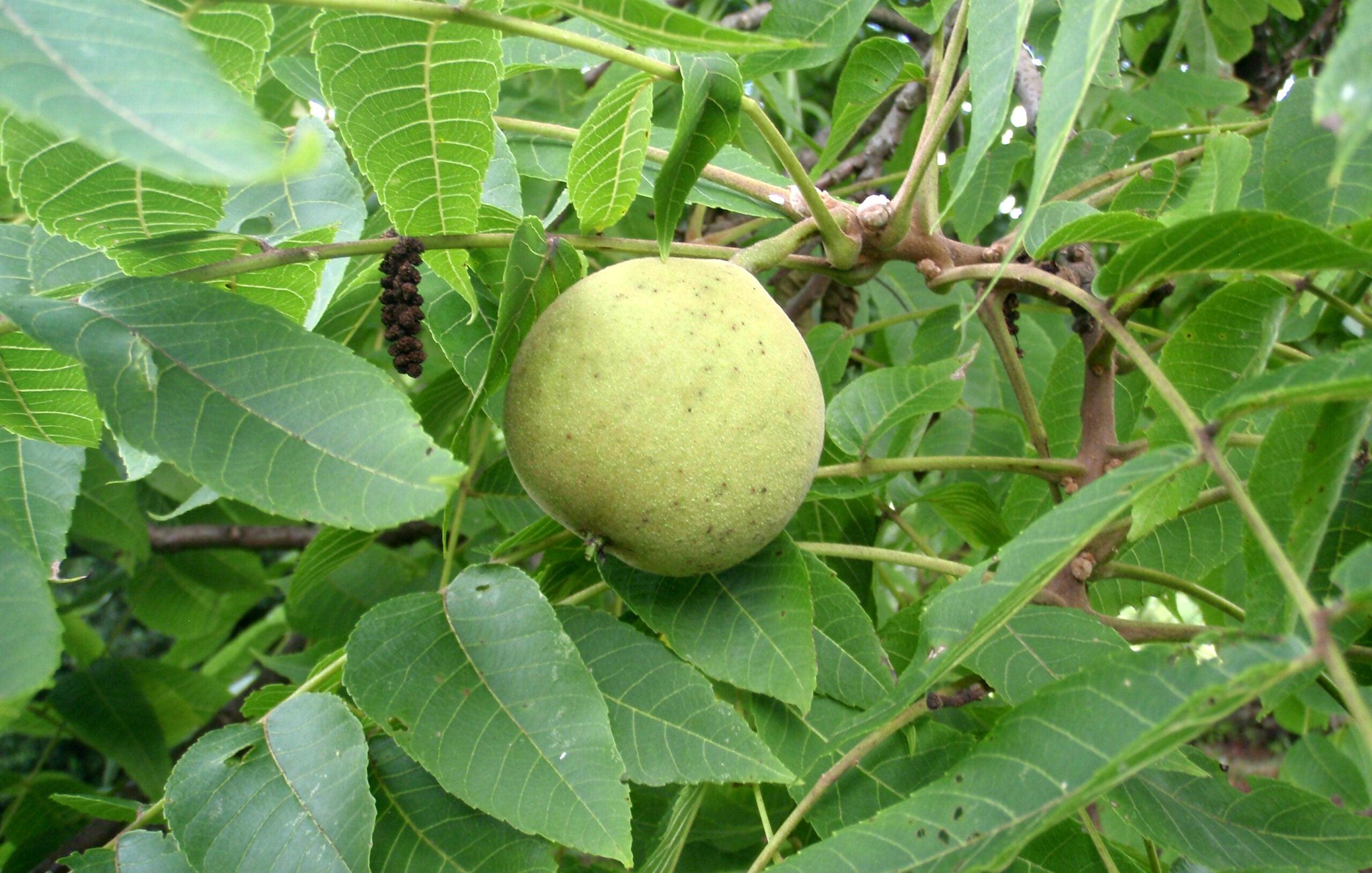 Survival Skills: 5 Survival Uses of the Black Walnut Tree