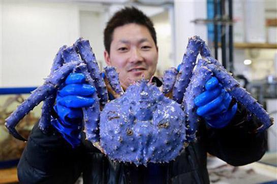 Purple Mutant King Crab Found in Russia's Bering Sea