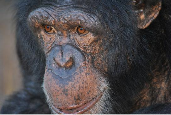 Volunteer Violently Attacked by Chimpanzees in South Africa