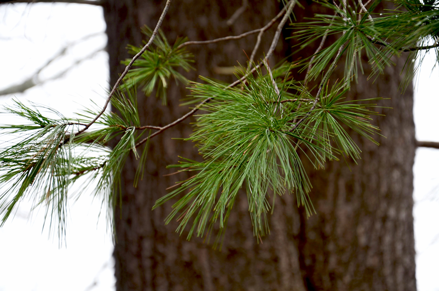 Survival Skills: How To Use White Pine For Food, Medicine and Glue