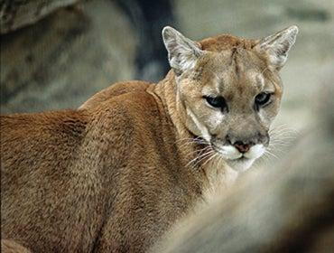 Nebraska Deer Hunter Shoots Mountain Lion that Stalked Him