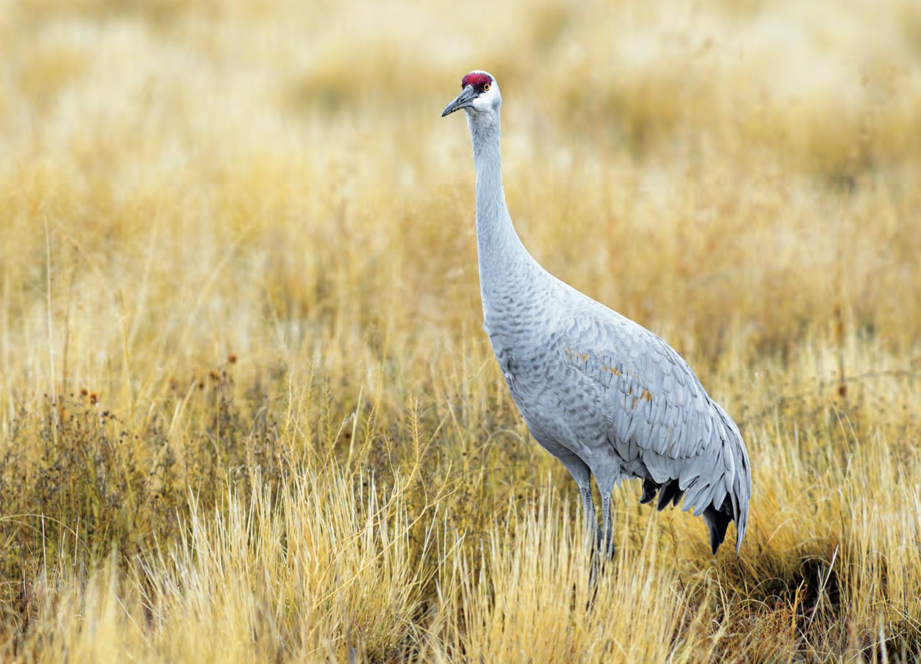 Sandhill Crane Hunting Tips and Tactics