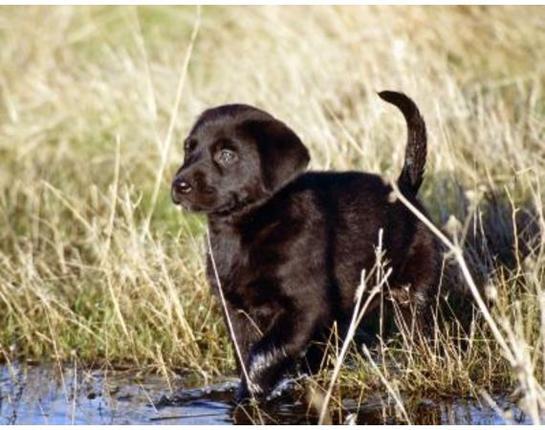 httpswww.outdoorlife.comsitesoutdoorlife.comfilesimport2014importBlogPostembedLab_pup_water.jpg