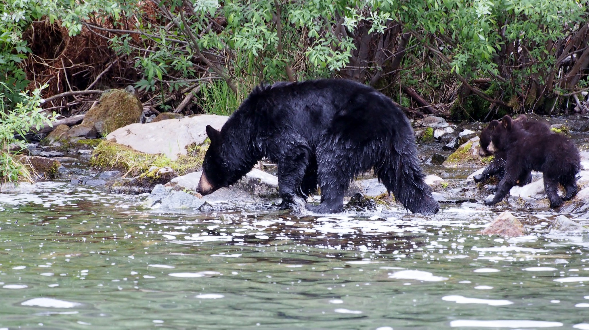 HSUS in Maine: Fighting Dirty to Gut Bear Hunting
