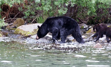 Washington Bow Hunter Survives Black Bear Attack