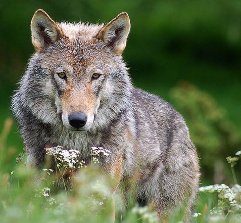 Wisconsin DNR Calls For Great Lakes Wolves to Be Delisted