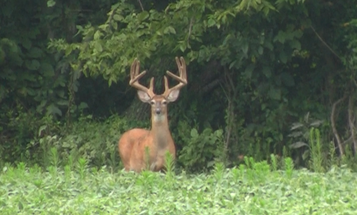 Summer Whitetail Scouting: What's It Good For?