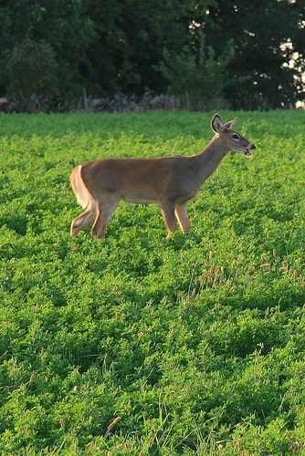 httpswww.outdoorlife.comsitesoutdoorlife.comfilesimport2014importImage2009photo7deer_in_alfalfa.jpg