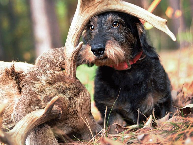 hunting dog blood tracker