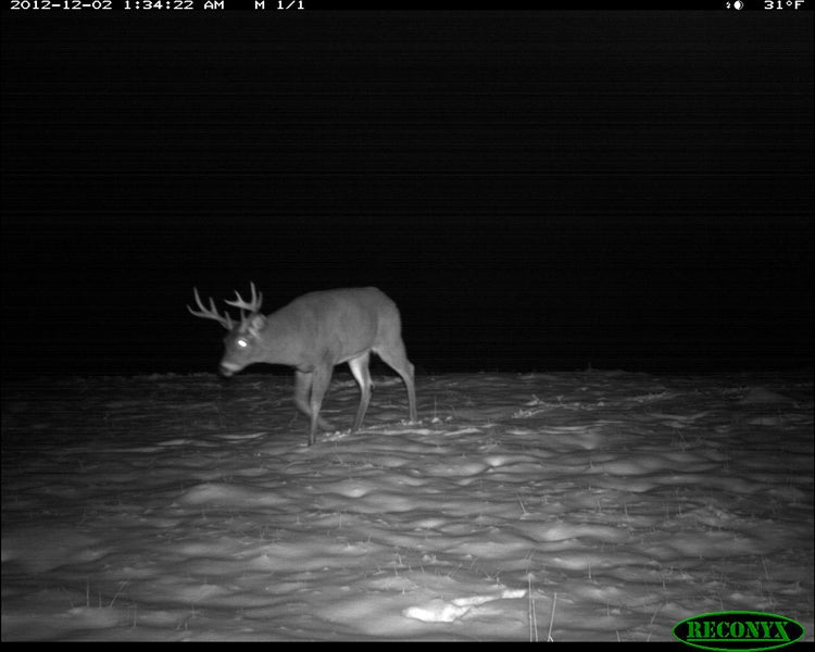 Tracking the Whitetail Rut Trail Camera Photos
